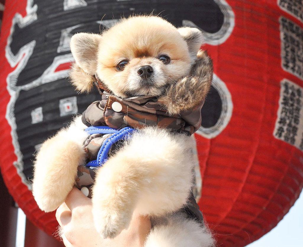 ポメラニアン柴犬カット