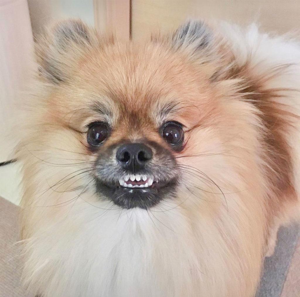 ポメラニアン歯磨き