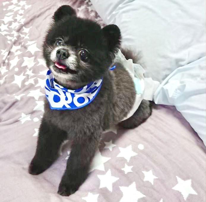 保護犬ポメラニアン